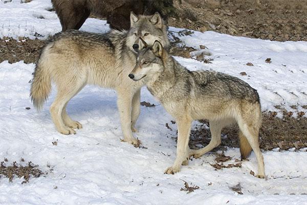 Среда обитания волков