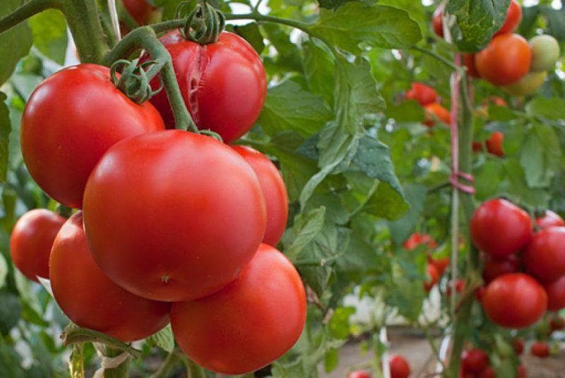 Как избавиться от трещин на помидорах