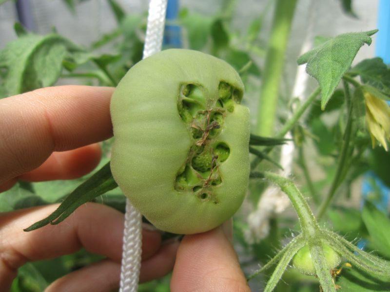 трещины на зеленых помидорах