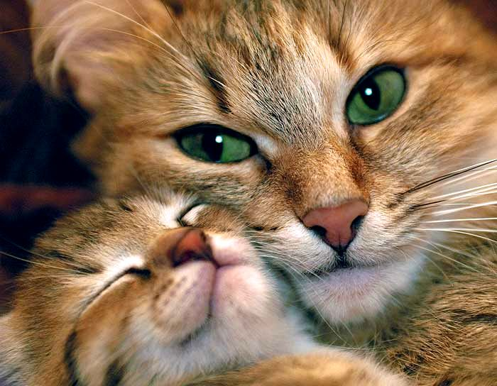 Размножение влияет на долголетнюю жизнь кошки.