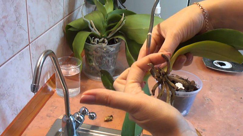 Промывка корней орхидеи