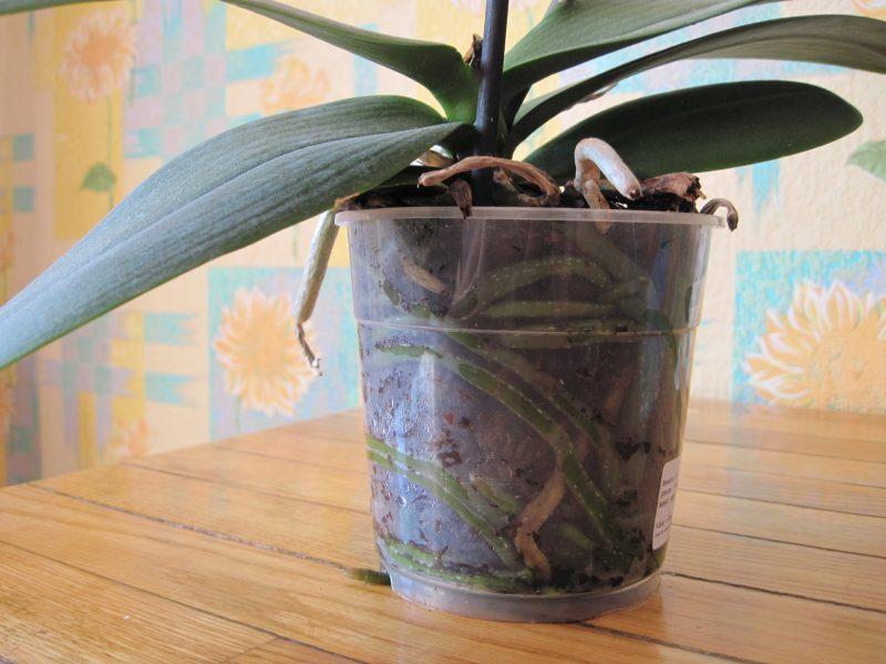Прозрачный горшок для орхидеи