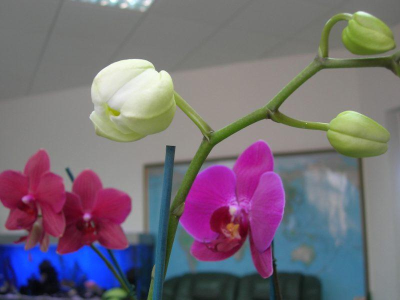 Бутон орхидеи