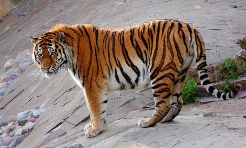 Одиночный образ жизни тигров