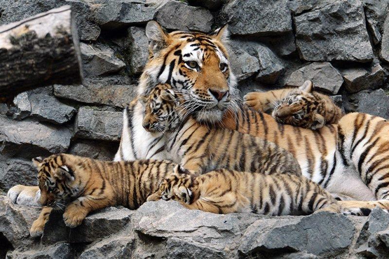 Самка тигра с тигрятами