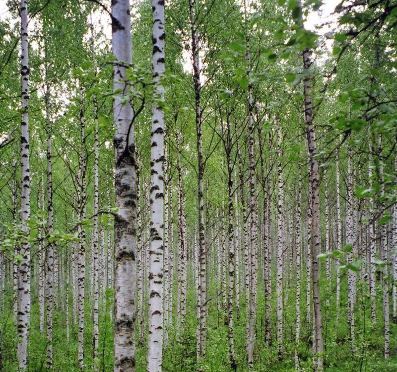 Дерево для спичек