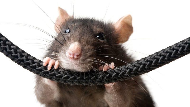 мышь кусает