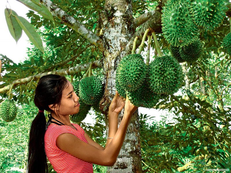 Описание дуриана