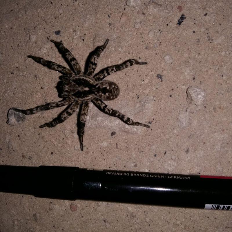 пауки на дороге Макао