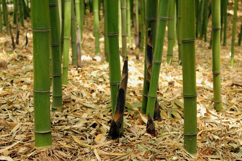Пытка бамбуком