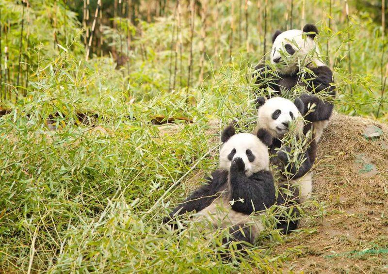 Где живет панда на каком материке