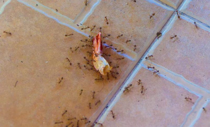 Как избавиться от рыжих муравьев в квартире быстро?