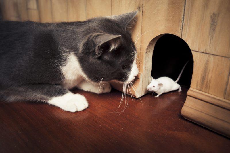 мышь кот