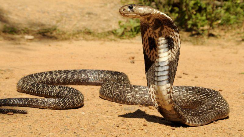 Очковая змея
