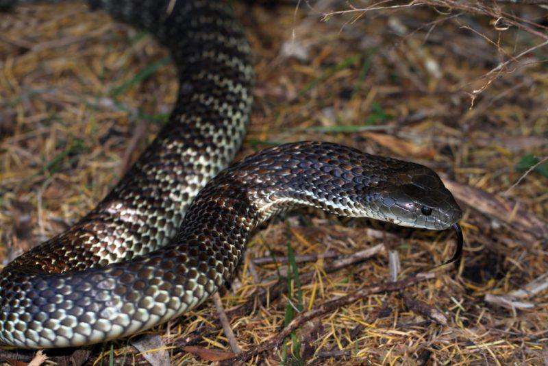 Ядовитая тигровая змея