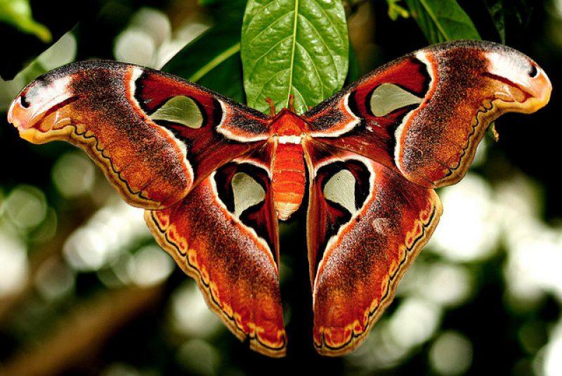 Князь тьмы бабочка