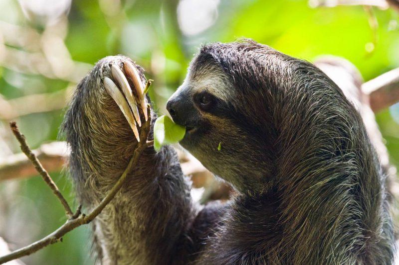 ленивец еда