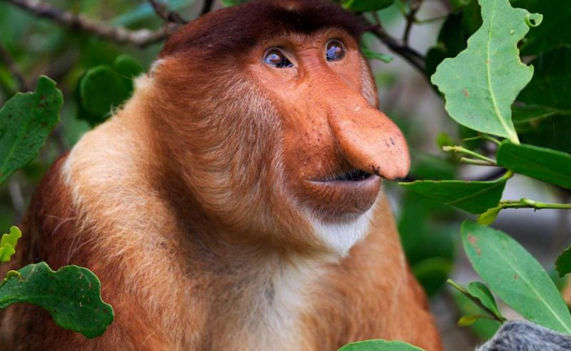 Примат носач