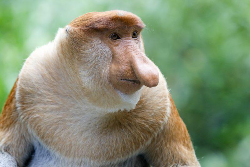 Носач уникальный примат
