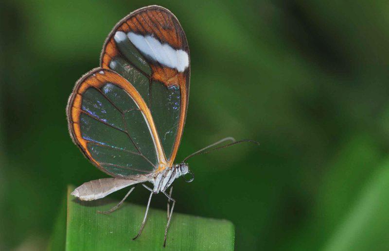 Стеклянная бабочка