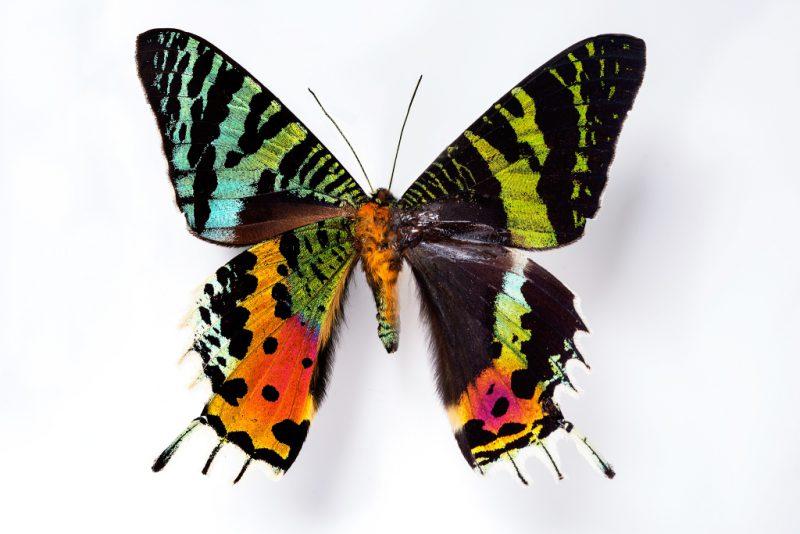 урания мадагаскарская крылья