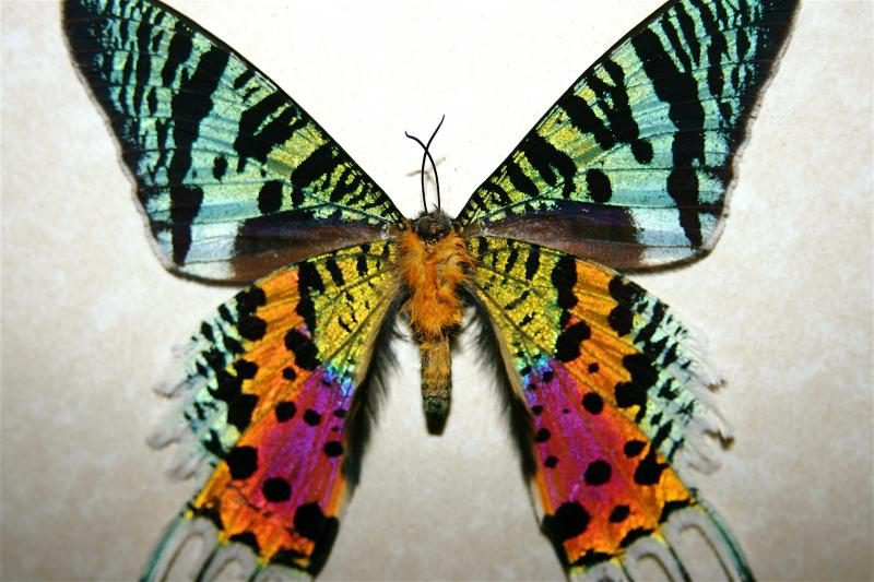 Мадагаскарская Урания бабочка