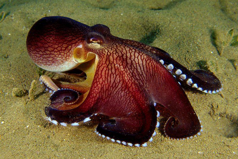 самый большой осьминог