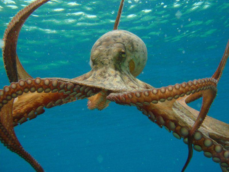 самый большой осьминог в мире - осьминог  Дофлейна