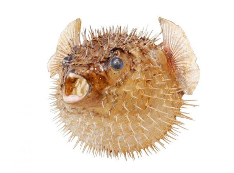 Яд рыбы Фугу