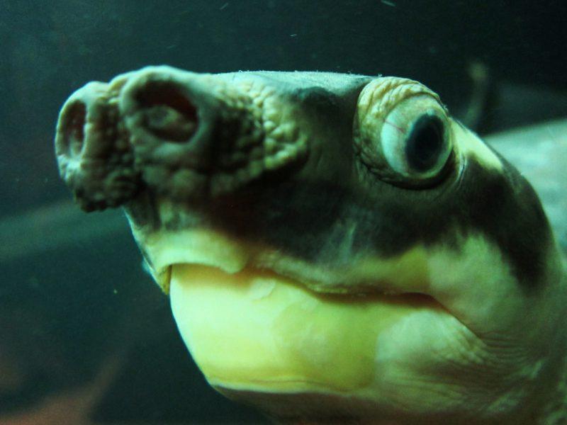 Свиноносая (двухкоготная) черепаха