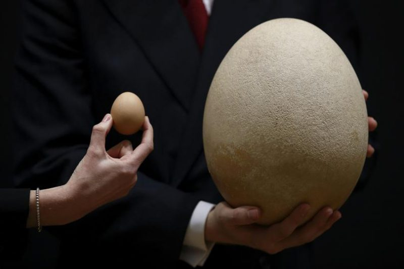 Яйцо слоновой птицы