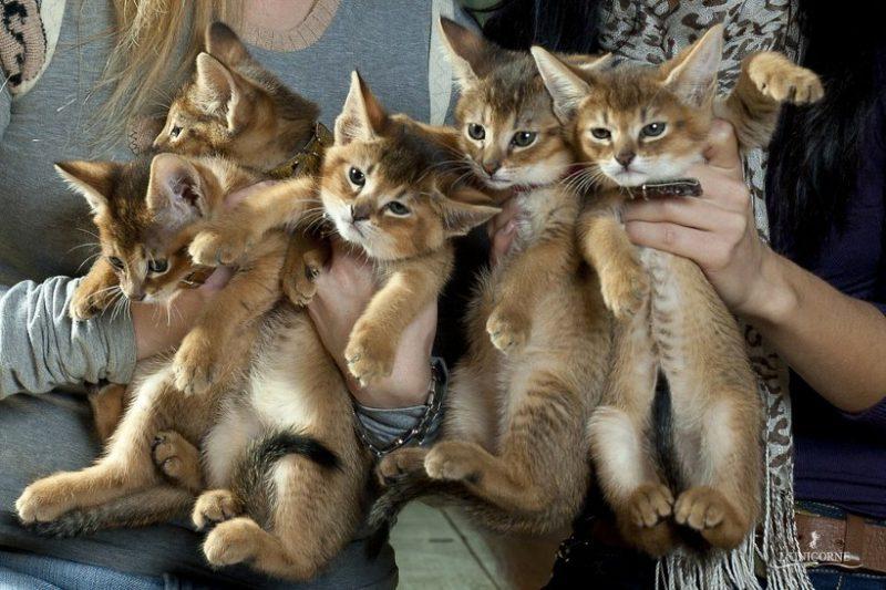 самая редкая кошка в мире