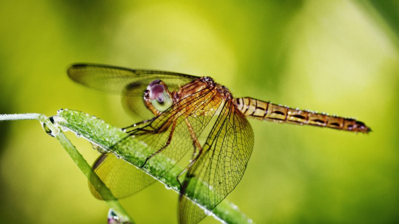 Самый ловкий хищник среди насекомых - стрекоза