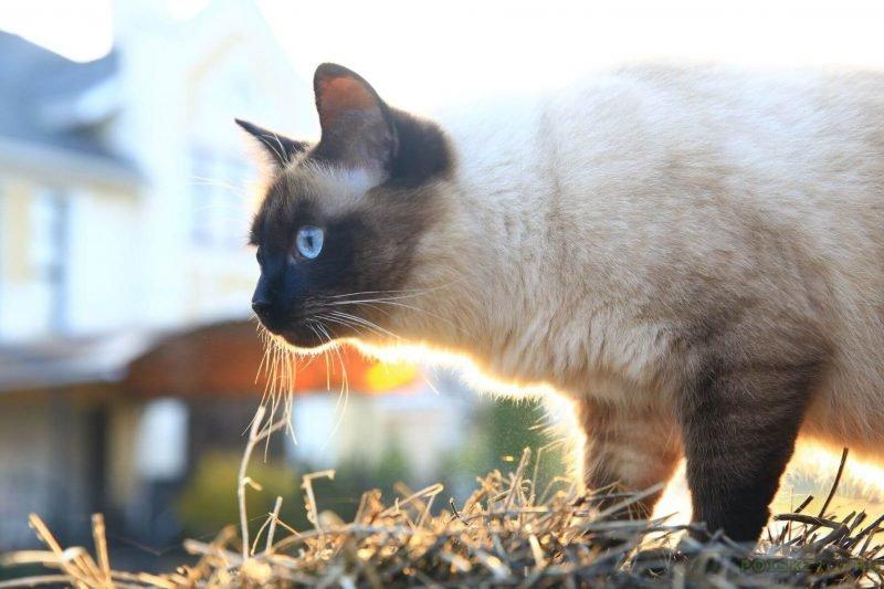 Бирманский кот