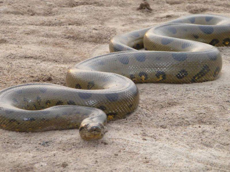 Анаконда, самая тяжелая змея