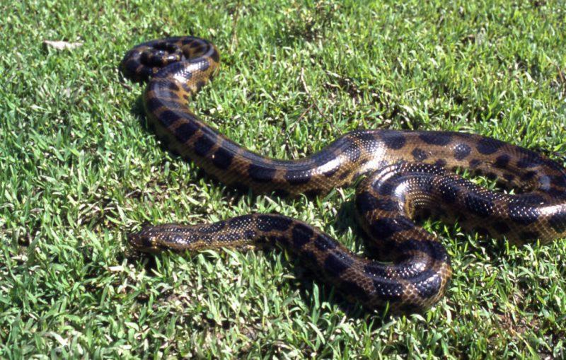 Самая большая змея