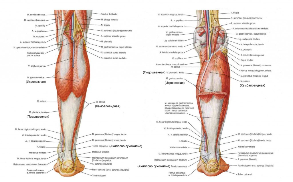 икроножные мышцы