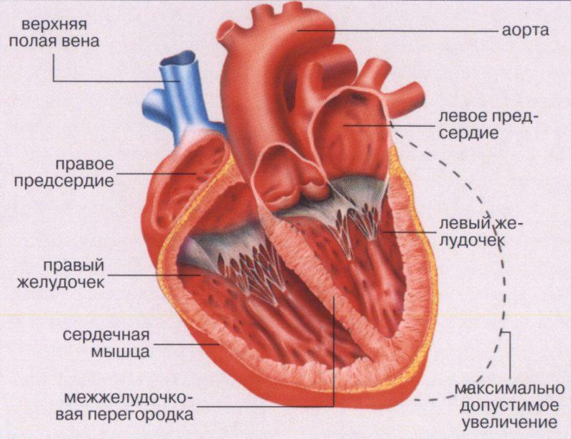 мышцы сердца