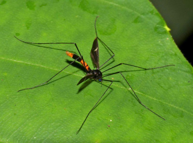 Самый большой комар