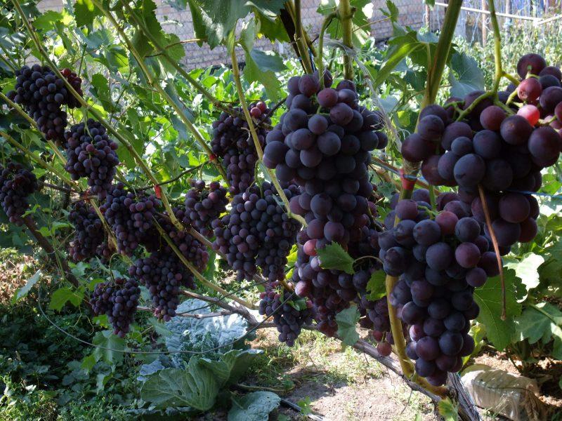 Виноград черных сортов