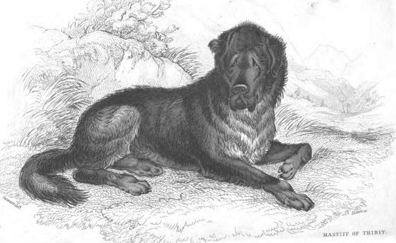молосская собака