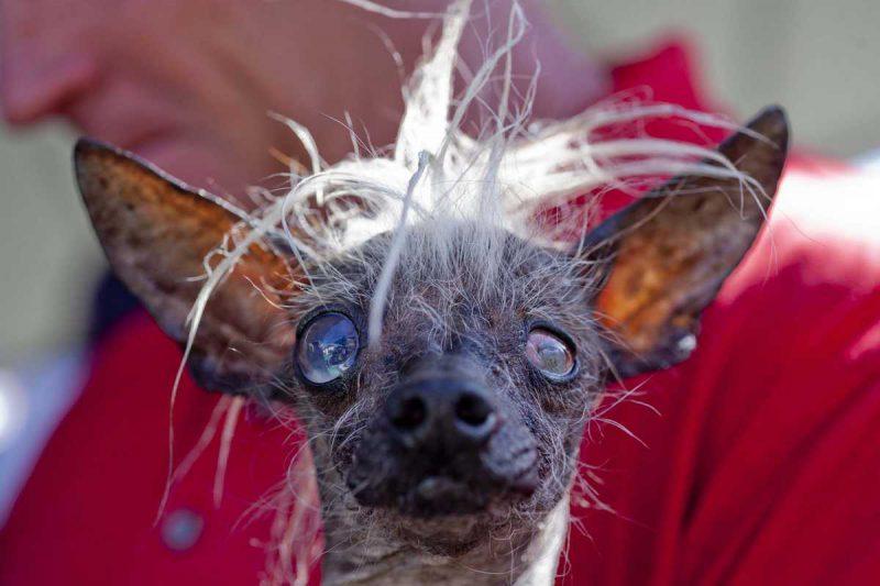 Сэм – перуанская голая собака