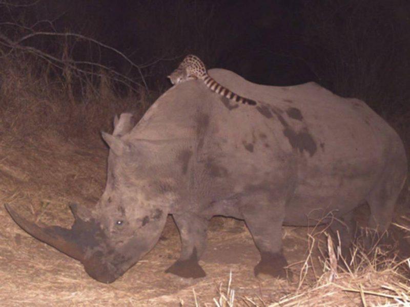 Генеты, которые катаются верхом на носороге