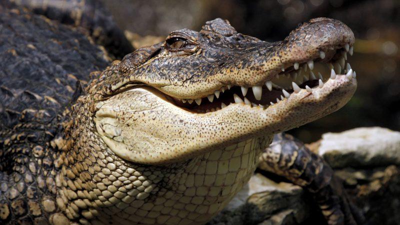 Плачущие крокодилы