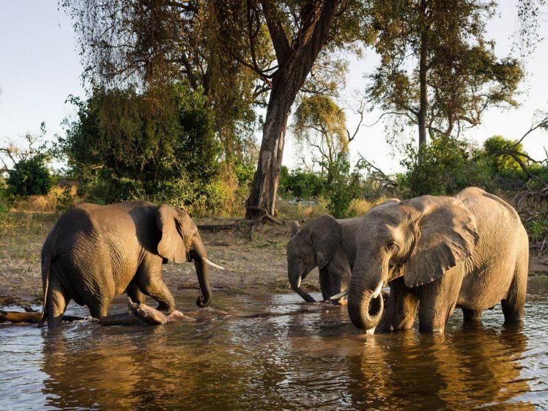 Слонихи-забияки
