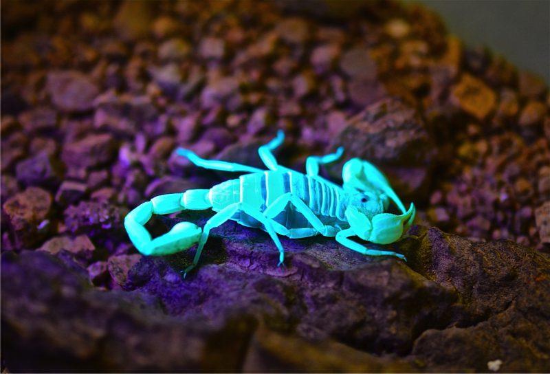 Светящиеся скорпионы