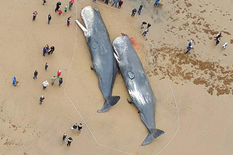 Выбрасывающиеся на берег морские млекопитающие
