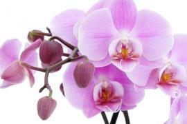 Как пересадить орхидею в домашних условиях – пошаговая инструкция