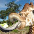 У какого животного самый большой язык