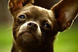 10 вещей о чихуахуа, которых Вы не знали